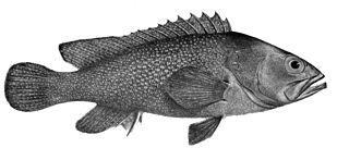 <i>Epinephelus summana</i> Species of fish