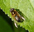 Epistrophe elegans. Male - Flickr - gailhampshire.jpg