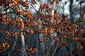 Epping Forest High Beach Waltham Abbey Essex England - oak leaves.jpg