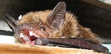 Eptesicus fuscus-teeth-and-ears.jpg