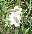 Eremophila bignoniiflora.jpg