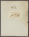 Erichthus hyalinus - - Print - Iconographia Zoologica - Special Collections University of Amsterdam - UBAINV0274 097 14 0013.tif