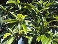 Eriobotrya japonica - London 3.jpg