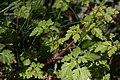 Erodium cicutarium-Bec de grue à feuille de ciguë-20160505.jpg