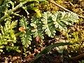 Erodium cicutarium 111859782.jpg