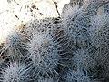 Escobaria albicolumnaria? (5730166117).jpg