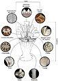 Estructura de coralito. Caryophyllia ZooKeys-227-001-g001.jpg