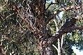 Eucalyptus bicostata DSC 0999 (7284530480).jpg