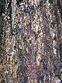 Eucalyptus paniculata Keira.JPG