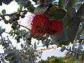 Eucalyptus rhodantha flower in Kings Park.jpg