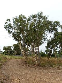 <i>Eucalyptus rossii</i> species of plant