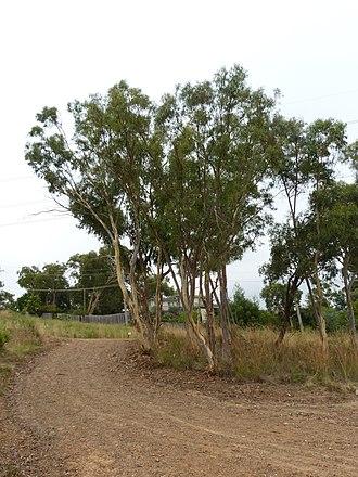 Eucalyptus rossii - Image: Eucalyptus rossii 1