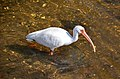 Eudocimus albus (American white ibis) (Sanibel Island, Florida, USA) 4.jpg