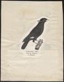 Eulabes religiosa - 1809-1845 - Print - Iconographia Zoologica - Special Collections University of Amsterdam - UBA01 IZ15800019.tif