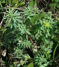 Euphorbia portlandica1