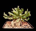 Euphorbia squarrosa3 ies.jpg