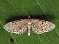 Eupithecia expallidata - Bleached pug (40944007681).jpg