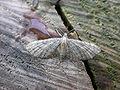 Eupithecia haworthiata.jpg