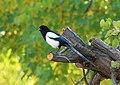 Eurasian Magpie (Pica pica bactriana) (15894422382).jpg