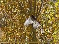 Eurasian Sparrowhawk (Accipiter nisus) (24752324328).jpg