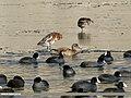 Eurasian Wigeon (Anas penelope), Gadwall (Anas strepera) & Eurasian Coot (Fulica atra) (33941981332).jpg