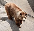 Eurasian brown bear.jpg