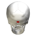 External occipital protuberance - posterior view.png