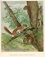 FMIB 41919 Red Squirrel (Sciurus hudsonicus gymnicus).jpeg