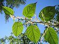 Fallopia-japonica(Blaetter).jpg
