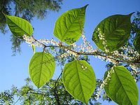 Fallopia-japonica(Blaetter)