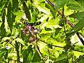 Farfalla (Crespino) 3.jpg