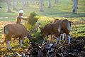Feeding the Banteng.jpg