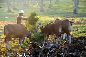 Banteng - Indonesian man feeds his banteng (cows)