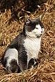 Felis silvestris catus - Bubikon 2011-02-04 15-39-08.JPG