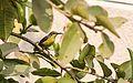 Female Purple Sunbird (Cinnyris asiaticus).jpg