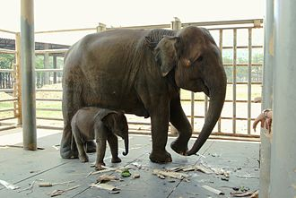 Elephant Nature Park - Female elephant (Dok Ngern, 15 years with newly born Dok Mai (23 days)