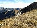 Femmina di Cane Lupo Cecoslovacco sulla cresta di Monte Crocedomini.jpg