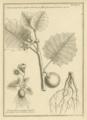 Feuillée Solanum.png