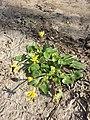 Ficaria calthifolia sl53.jpg
