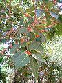 FicusBeng.jpg