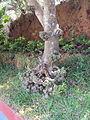 Ficus auriculata 11.JPG
