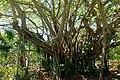 Ficus lutea, state champion tree - Marie Selby Botanical Gardens - Sarasota, Florida - DSC01345.jpg