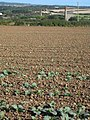 Field of young cabbages near Goldsithney - geograph.org.uk - 948357.jpg