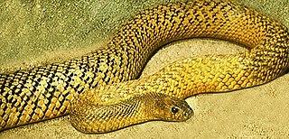 Taipan genus of reptiles