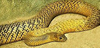 Venomous snake - Image: Fierce Snake Olive