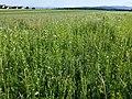 Filago vulgaris sl300.jpg
