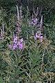 Fireweed (Chamaenerion angustifolium) - St. John's, Newfoundland 2019-08-08.jpg