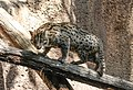 Fishing cat in San Diego Zoo.jpg