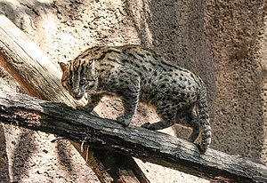 Fishing cat - Image: Fishing cat in San Diego Zoo