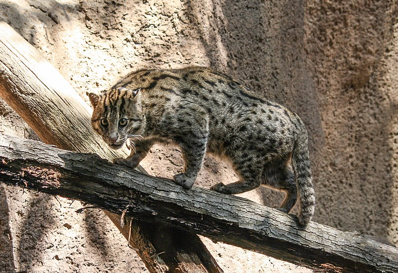 Les félins  800px-Fishing_cat_in_San_Diego_Zoo